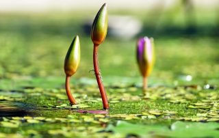 water-lilies-1388690_1920